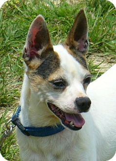 Rat Terrier/Chihuahua Mix Dog for adoption in Buffalo, New York - Ernie: 3 years, 20#.