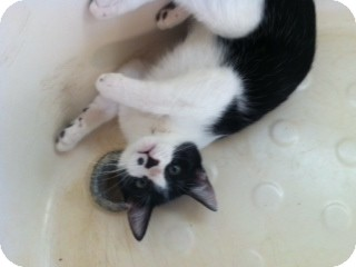 American Shorthair Kitten for adoption in Weatherford, Texas - Henry