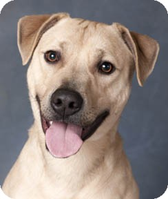 Labrador Retriever Mix Dog for adoption in Chicago, Illinois - Morty