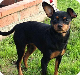 Miniature Pinscher Dog for adoption in Poway, California - LUNA