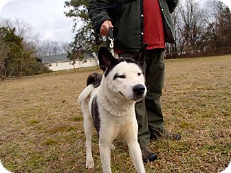 Akita Dog for adoption in Toms River, New Jersey - Asami