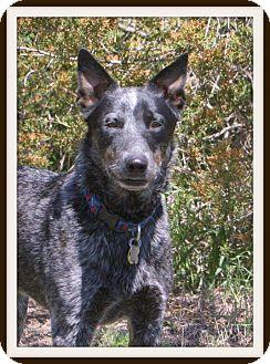 Australian Cattle Dog/German Shepherd Dog Mix Dog for adoption in Delano, Minnesota - Lad