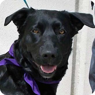 Labrador Retriever/Basset Hound Mix Dog for adoption in Weatherford, Texas - Frannie