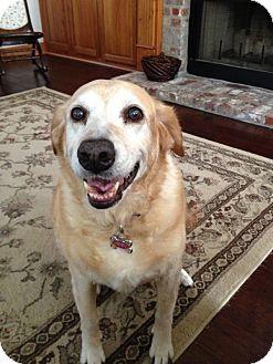 Labrador Retriever/Golden Retriever Mix Dog for adoption in Metairie, Louisiana - Abbey