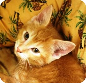 Domestic Shorthair Kitten for adoption in West Des Moines, Iowa - Ember