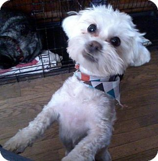 Maltese/Poodle (Toy or Tea Cup) Mix Dog for adoption in High View, West Virginia - Ready