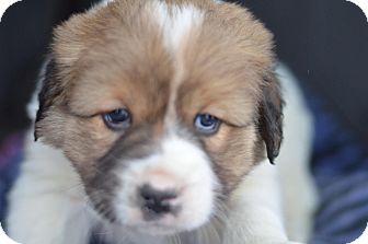 St. Bernard/Australian Shepherd Mix Puppy for adoption in London, Ontario - Felix