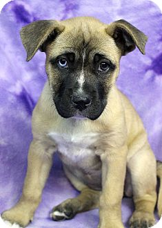 Boxer Mix Puppy for adoption in Westminster, Colorado - Sapphire