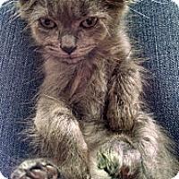 Adopt A Pet :: Smokey (Old soul) - Sterling Hgts, MI