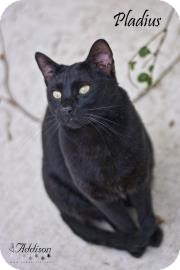 Domestic Shorthair Cat for adoption in Belle Chasse, Louisiana - Pladius
