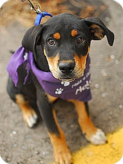 Rottweiler/Shepherd (Unknown Type) Mix Puppy for adoption in Detroit, Michigan - Alec-Adopted!