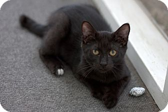 Domestic Shorthair Kitten for adoption in Lombard, Illinois - Angus