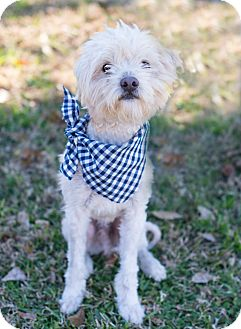 Poodle (Miniature) Mix Dog for adoption in Glastonbury, Connecticut - Falcor
