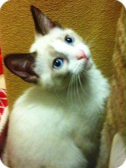 Siamese Kitten for adoption in Lake Elsinore, California - Bishop