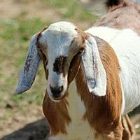 Adopt A Pet :: Metta - Mead, WA