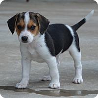 Adopt A Pet :: Piggy - Bedminster, NJ