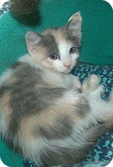 Calico Kitten for adoption in Acme, Pennsylvania - LUCENDA