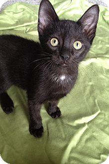 Domestic Shorthair Kitten for adoption in Tampa, Florida - Finn