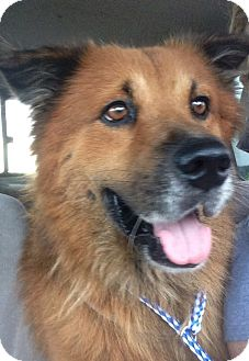 Shepherd (Unknown Type)/Collie Mix Dog for adoption in Ocean Ridge, Florida - Brandon
