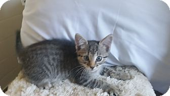 Domestic Shorthair Kitten for adoption in Des Moines, Iowa - Mickey