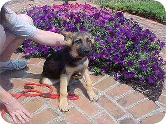 German Shepherd Dog Mix Puppy for adoption in Grove City, Ohio - Keno
