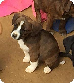 Boxer/Labrador Retriever Mix Puppy for adoption in Charlotte, North Carolina - Moxie