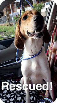 Coonhound Mix Dog for adoption in Greensburg, Pennsylvania - Star