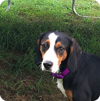 Foxhound/Black and Tan Coonhound Mix Dog for adoption in Fredericksburg, Virginia - Buddy