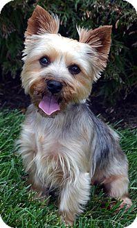 Yorkie, Yorkshire Terrier Dog for adoption in Bridgeton, Missouri - Gracie