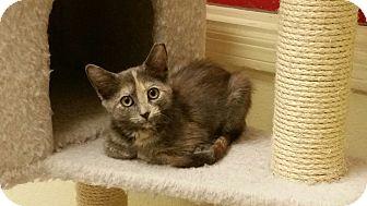 Domestic Shorthair Kitten for adoption in Phoenix, Arizona - Flower