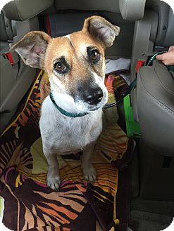 Jack Russell Terrier/Terrier (Unknown Type, Small) Mix Dog for adoption in New York, New York - Lily