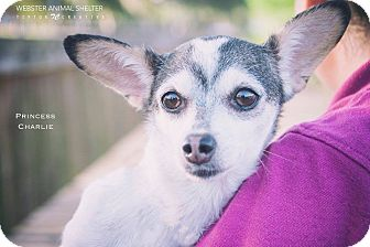 Chihuahua Mix Dog for adoption in Webster, Texas - Princess Charlie