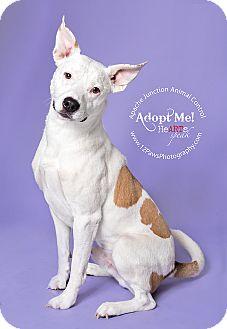 Blue Heeler/Pit Bull Terrier Mix Dog for adoption in Mesa, Arizona - Bandit