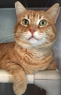 Domestic Shorthair Cat for adoption in Oakdale, California - Thomas O'Malley