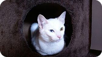 Domestic Shorthair Kitten for adoption in Columbus, Ohio - Ghost