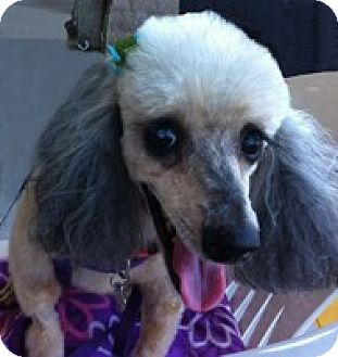 Miniature Poodle Dog for adoption in Melbourne, Florida - COCO PUFF