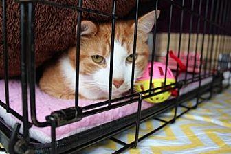 Domestic Shorthair Cat for adoption in Yardley, Pennsylvania - Creme