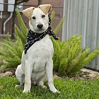Labrador Retriever/Labrador Retriever Mix Dog for adoption in Houston, Texas - Pirate
