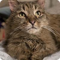 Domestic Mediumhair Cat for adoption in Toronto, Ontario - Casey