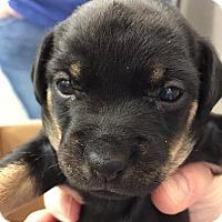 Hound (Unknown Type) Mix Puppy for adoption in New York, New York - Olive