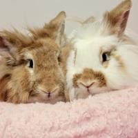 Lionhead Mix for adoption in Bowling Green, Kentucky - Bee-bonded with Fluffy