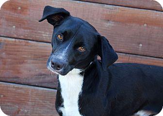 Labrador Retriever/Beagle Mix Dog for adoption in Los Angeles, California - Hudson
