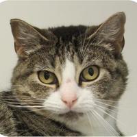 Adopt A Pet :: Lieutenant Lara 22683-c - Ithaca, NY