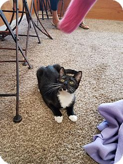 Domestic Shorthair Kitten for adoption in Columbus, Ohio - Pippi