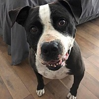Adopt A Pet :: Diesel - Crestline, CA