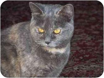 Domestic Shorthair Cat for adoption in Smithfield, Virginia - Snooks