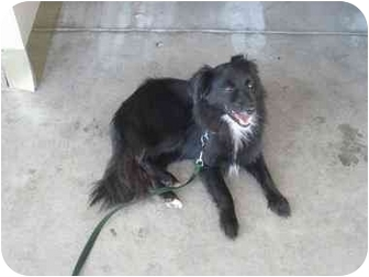 Pomeranian/Spaniel (Unknown Type) Mix Dog for adoption in Beverly Hills, California - Quinn