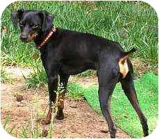 Miniature Pinscher Dog for adoption in Pelzer, South Carolina - Batman