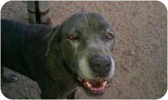 Neapolitan Mastiff Dog for adoption in San Fernando Valley, California - Jeremiah