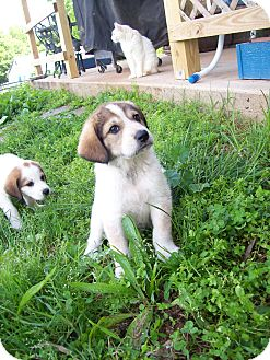 Great Pyrenees/Hound (Unknown Type) Mix Puppy for adoption in Rustburg, Virginia - Reggie